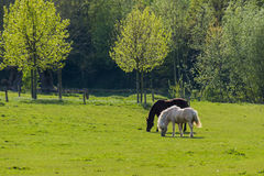 Black and brown horses walking over grassland in front of trees Royalty Free Stock Photos