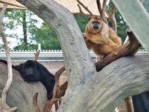 Black and Brown Howler Monkeys. Howler monkeys genus Alouatta monotypic in subfamily Alouattinae are some of the largest of the New World monkeys.  They are in Royalty Free Stock Image
