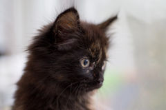 The black-and-brown kitten looks out the window. Stock Photography