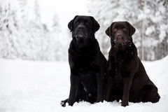 Black and Brown Labrador Retrievers Stock Photo