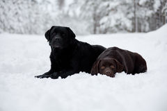 Black and Brown Labrador Retrievers Stock Photos