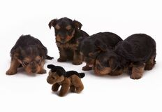 Black and Brown Long Haired Puppies Stock Photography