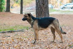 Black brown mongrel walks in autumn forest.  Royalty Free Stock Image