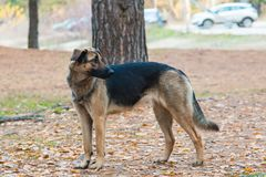 Black brown mongrel walks in autumn forest.  Royalty Free Stock Photo