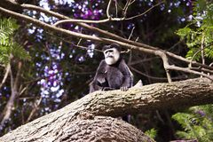 Black and Brown Monkey on Top of Tree Royalty Free Stock Photography