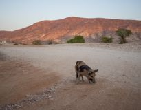 Black and brown piglet walking on dirt road with desert mountain in background, Epupa Falls, Namibia.  Royalty Free Stock Images