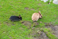 Black and brown rabbit eating green grass royalty free stock photography