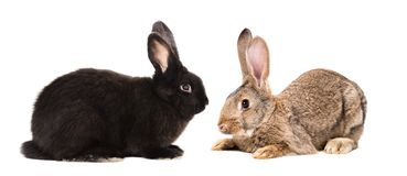 Black and brown rabbits sitting together. Isolated on white background royalty free stock photography
