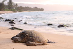 Black and Brown Sea Turtle Stock Photos