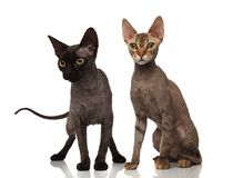 Black and brown short hair cats. On white background royalty free stock photo