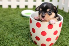Black and Brown Short Haired Puppy in Cup Stock Image