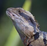 Black and Brown Spiky Lizard Royalty Free Stock Photo