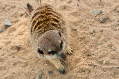 Black-brown Suricata. Black-brown Suricata seat on sand and waiting food stock images