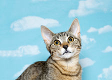 Black and brown tabby kitten looking up Royalty Free Stock Photography
