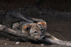 Sled Dog Relaxing royalty free stock photos