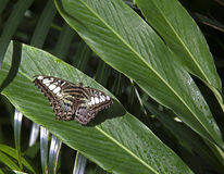 Black brown and white butterfly. A butterfly farm in the north of the island of saint martin contains hundreds of butterflies which have been conceived and Royalty Free Stock Image