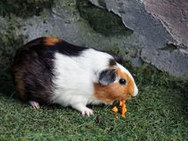Black, brown, and white Guinea pig eating orange carrot in the zoo stock photography