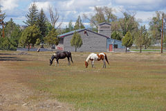 A black and a brown and white horse. Grazing in a field in Central Oregon Stock Photos