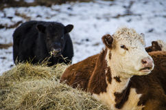 Black and brown and white jersey cows eating hay with a snowy background Royalty Free Stock Photography