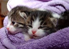 Black Brown and White Kittens in Purple Towel Stock Photo