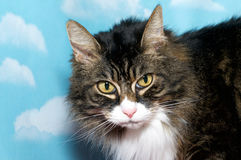Black brown and white long hair tabby cat with yellow eyes, blue Royalty Free Stock Image