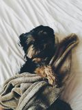 Black and Brown Yorkie Laying on Bed With Brown Towel Stock Photos