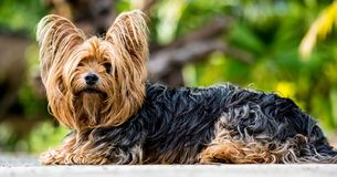Black and Brown Yorkshire Terrier Sitting Stock Photography