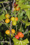 Black Bryony Berries Stock Photography