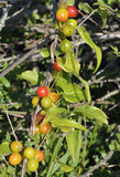 Black Bryony Berries Stock Photo