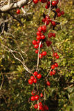 Black bryony,Tamus communis Stock Photography