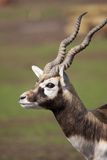 Black Buck Stock Photography