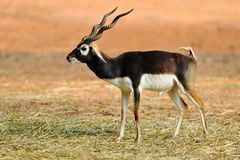 Free Black Buck Royalty Free Stock Photos - 27232438