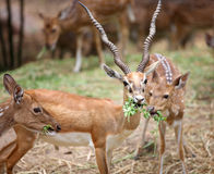 Black buck Royalty Free Stock Image