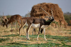 Free Black Buck Stock Photography - 86854902