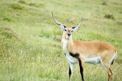 Black Buck Antelope Royalty Free Stock Photography
