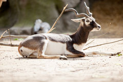 Black buck antelope Royalty Free Stock Images