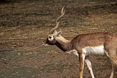 Black Buck Stock Images