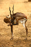 Black Buck cleaning itself. Black buck with long and curved horn raising its leg to clean himself Royalty Free Stock Image