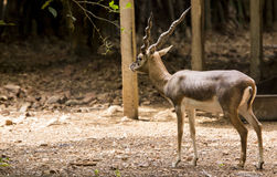 Black buck Royalty Free Stock Photography