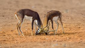 Black Buck Indian  Male Royalty Free Stock Photos