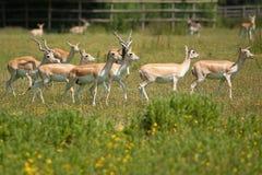 Black buck group Royalty Free Stock Photo