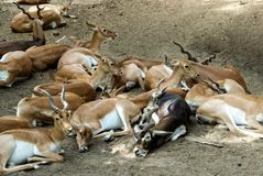 Black buck herd resting-Indian. Herd of Indian black buck deer resting in shade. Group leader male black buck with female bucks. Male black buck have long horns stock photography