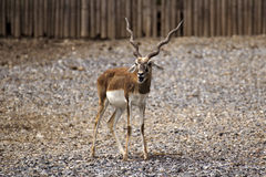 Black buck Royalty Free Stock Photo
