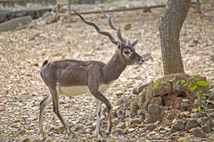 Black buck Royalty Free Stock Photos