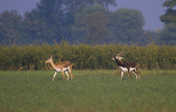 Black Buck male and female Stock Photos