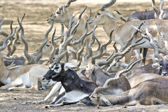 Black buck Royalty Free Stock Images