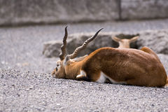 Black buck resting. Male of the Black buck resting on the stones. Canon 400d stock photos