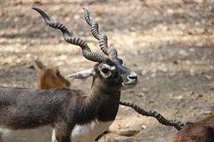 Black Buck Stock Image