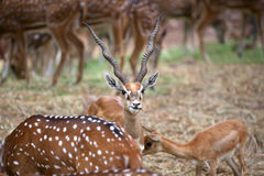 Black buck and spotted deers Royalty Free Stock Photo