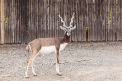Black buck standing looking camera Stock Photos